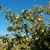 11月 りんご収穫スタート
