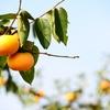 柿 カキ かき(柿帝)とは?「栽培の歴史」~食べておいしい秋の味!