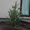 我が家のシンボルツリーは・・