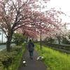 二郷半用水の八重桜