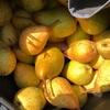 洋梨の収穫