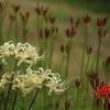 宇治市植物公園「白彼岸花」