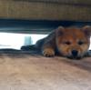 柴犬を室内で飼いはじめる時の注意点