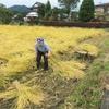 なかなか終わらない稲刈り・天日干し
