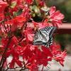 ベランダの「のとキリシマツツジ」と蝶