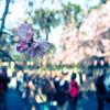 桜の咲く日は、既に来ていた。
