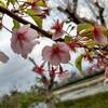 今年初桜ラン
