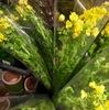 """「のらぼう菜」を購入しました.菜花同様かなり美味しかったです.つぼみと葉を食べる各地の""""とう立ち菜"""" 茎立 (くくたち) / 万葉集  かみつけの,さののくくたち,おりはやし,あれはまたむゑ,ことしくずとも"""