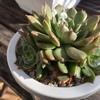 エケベリア・ブラウンローズの解体と、肥料ある・なしの成長実験?開始!