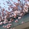 4/16(日)桜を見ながらダラダラとビール飲もうかと