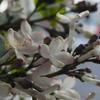 ライラック 紫丁香花(ムラサキハシドイ)Syringa vulgaris