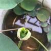 ハスの葉っぱはゆっくり開く