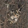 枯れ草の中の蟹