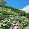 紫陽花とpaanibagの写真を撮りに行ってきました!