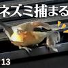 1113【モズがネズミを捕食】鳩の親子とカルガモ求愛ダンス、悲劇の脚怪我ハクセキレイ、カワセミの喧嘩。小さな猛禽チョウゲンボウがカラスに襲われる【 #今日撮り野鳥動画まとめ 】 #身近な生き物語