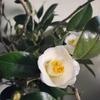 白玉椿、冬の朝