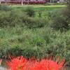 曼珠沙華と養老鉄道