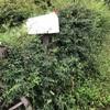 モッコウバラの大剪定と立ちはだかる大問題。