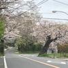 鎌倉山さくら道の桜開花状況 2021年3月25日