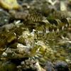 潮だまりの小魚や稚魚