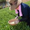 一泊車中泊・京都府南山城村 和紅茶摘み,自宅 製造体験 /車中泊 〜夏も盛りでありますが、紅茶が旬とは知らなんだ〜