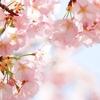 【神話シリーズ①】木花咲耶姫と桜