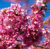 木場公園の寒緋桜