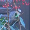 正月のヒヨドリ