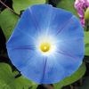 今日の誕生花「アサガオ」江戸時代から夏の風物詩!朝顔市に!