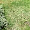 芝生に広がる雑草💧