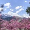 安曇野〜大町〜白馬の桜スポットをローカルが紹介するよ!(信州・長野県のお花見情報2021)