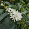 【コーヒーの花のはちみつ徹底比較】グアテマラ、エチオピア、ブラジル・・コーヒーの花のはちみつのワールドカップです
