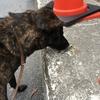 次はトンボか!甲斐犬サンの興味は続くよドコまでも。