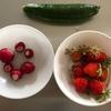 【家庭菜園】子供たちが野菜を収穫