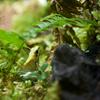 モウドクフキヤガエル Phyllobates terribilis