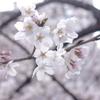 もうすぐ桜の咲く季節!名古屋市内のおすすめ桜スポットの山崎川を紹介します。