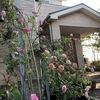 自宅ではバラが見頃を迎えております