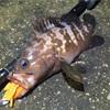 ロックフィッシュ実はワームのカラーでまあまあ釣果変わる説
