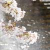 完)目黒川の桜をルミックスDMC-GM1で撮影♪