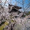 古谷の京都桜めぐり 2012 染井吉野編