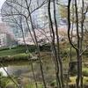 六本木ヒルズ 毛利庭園で桜をお花見