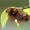 今年も花だけ:変な植物ポポー