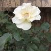 バラとご近所さんに癒される