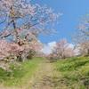 【乙部町】桜の名所、しびの岬公園でお花見しました