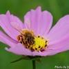 マクロレンズで撮る花とミツバチ
