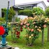 薔薇と薔薇風の臭気