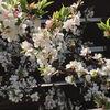 桜の代わりに、満開のユスラウメ