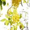 タイの国花「ゴールデン・シャワー」/Golden Shower