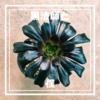 黒法師と僕【アエオニウム:黒い植物とシティーハンターへの憧れ】