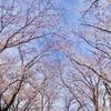 小田原散歩 -桜